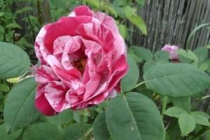 Rose - Phytotherapie, Solange Eigl, Heilpraktikerin